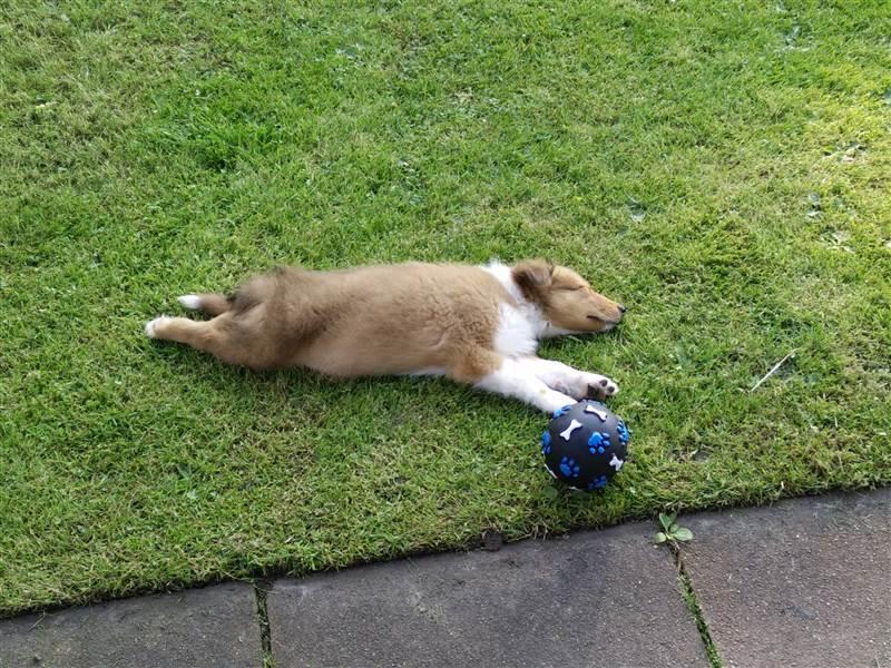 Hund schläft neben seinem Spielgerät