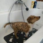 Ein Collie-Welpe steht unter der Dusche bzw. wird gebadet