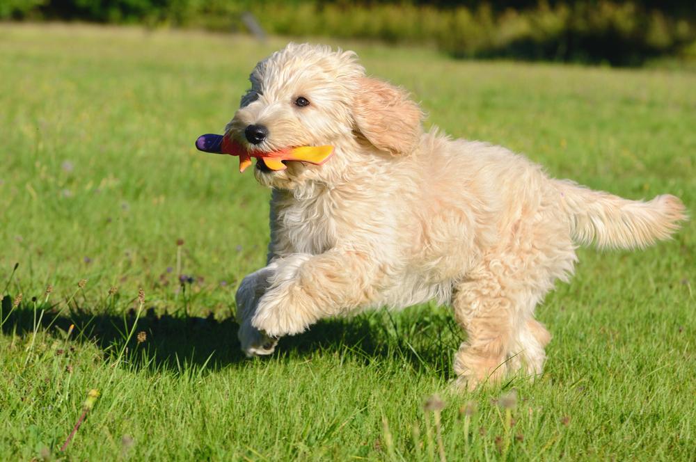 Goldendoodle Welpen