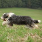 Bearded Collie: Wesen, Charakter, Mermale