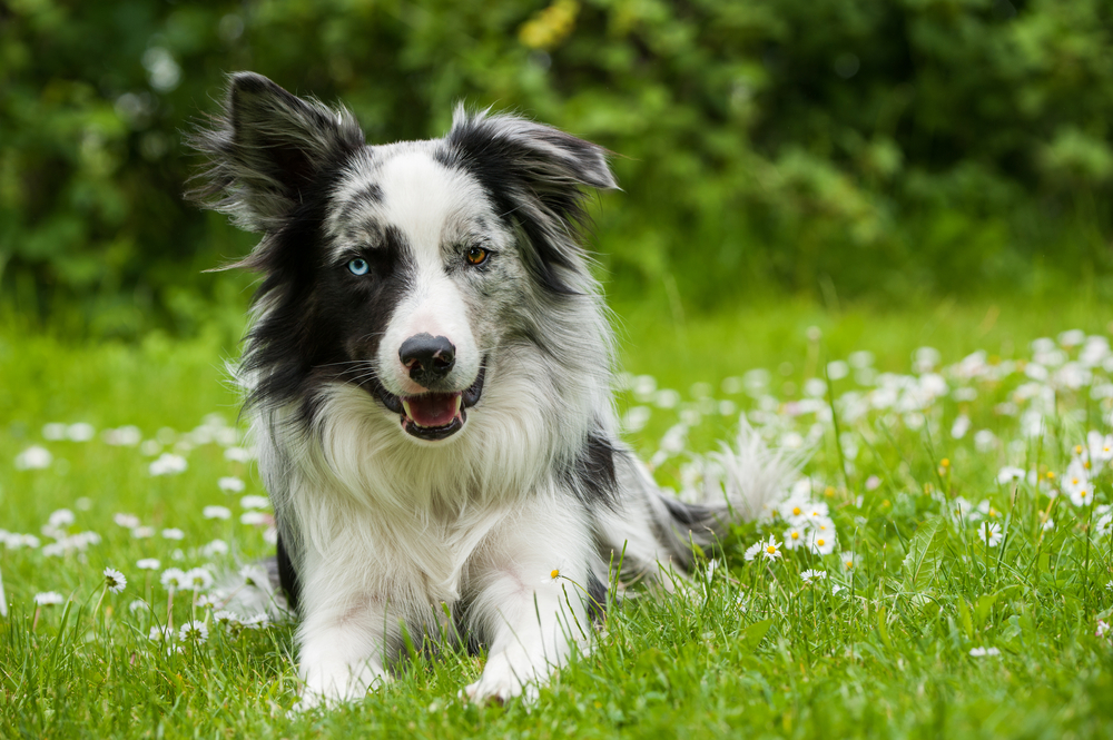 Border Collie in Blue Merle mit blauem Auge