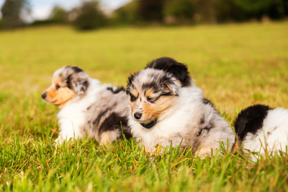 Collie-Welpen in Blue Merle