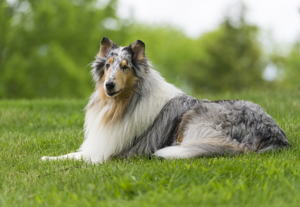 Amerikanischer Collie Blue Merle