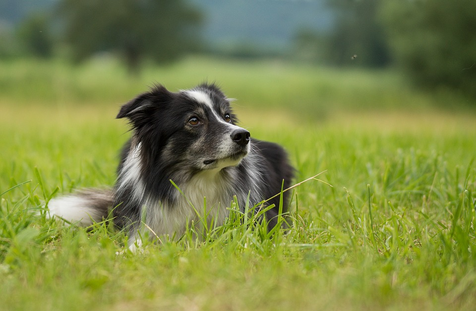 Border Collie Steckbrief: Charakter, Temperament, Erziehung