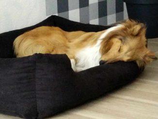 Collie im Hundebett