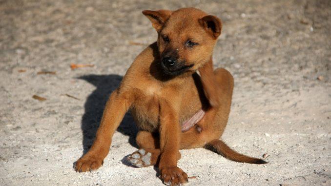 Flöhe beim Hund: Woher sie kommen und was man dagegen tun kann