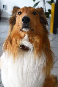 Collie mit Hundehalsband