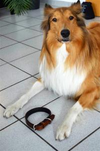 Collie mit Lederhalsband
