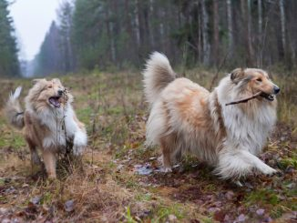 Zwei Collies spielen im Wald.