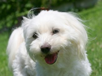 Malteser Hund in der Nahaufnahme