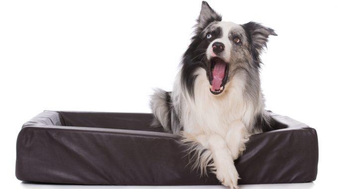 Collie hähnt im Hundebett