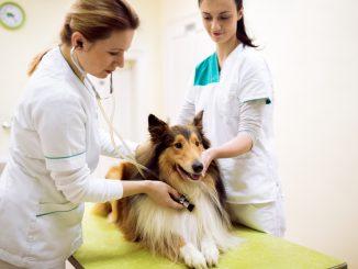 Collie beim Tierarzt