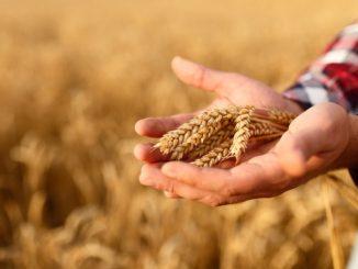 Jemand hält Weizenkörner in der Hand