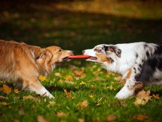 Zwei Hunde ziehen an einer Frisbee