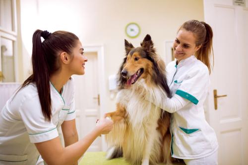 Ein Collie wird beim Tierarzt von zwei jungen Frauen untersucht.