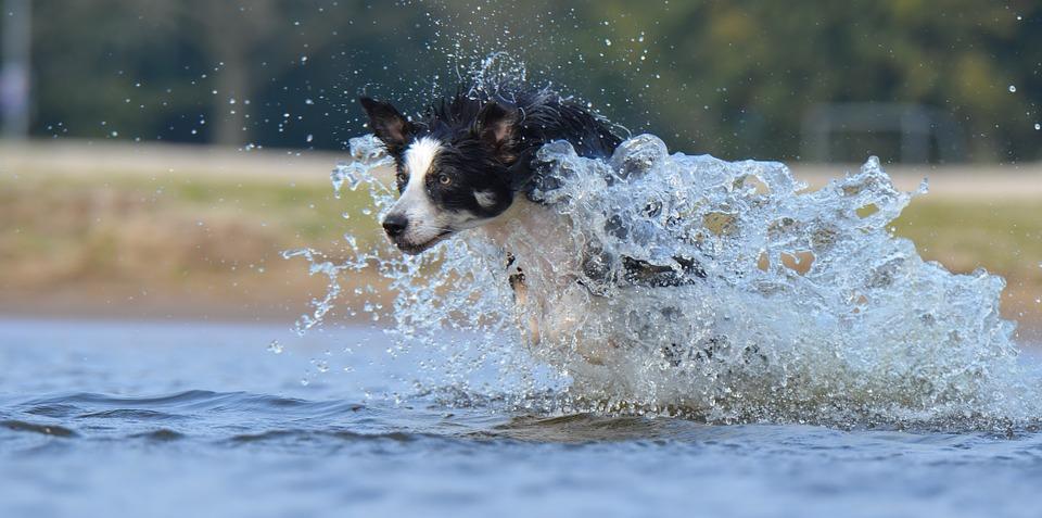 Ein Border Collie im Wasser