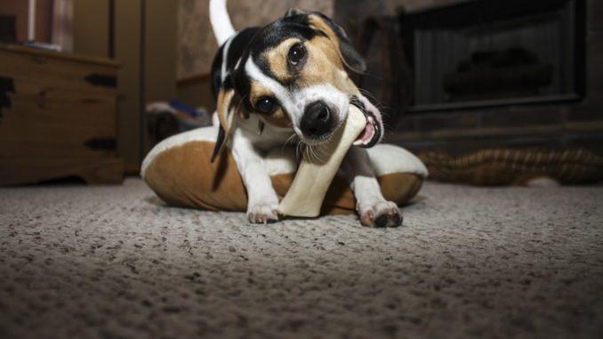 Ein junger Hund der Rasse Jack Russel kaut auf einem Kauknochen.