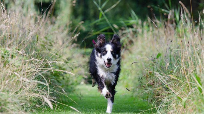 schwarz weißer Hund rennt über eine Wiese
