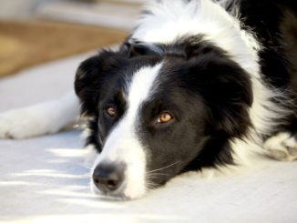 Schwarz weißer Hund liegt auf dem Boden