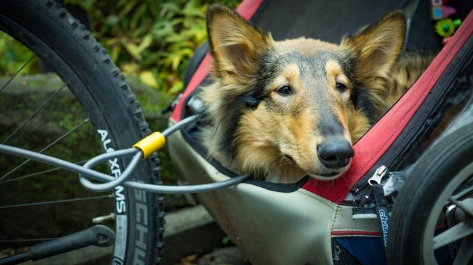 Hund sitzt in einem Fahrradanhänger/Fahrradkörbchen