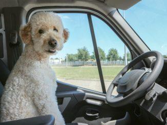 weißer Hund sitzt im Auto vorm Lenkrad