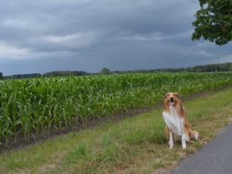 Collie sitzt vorm Feld mit Gewitterwolken