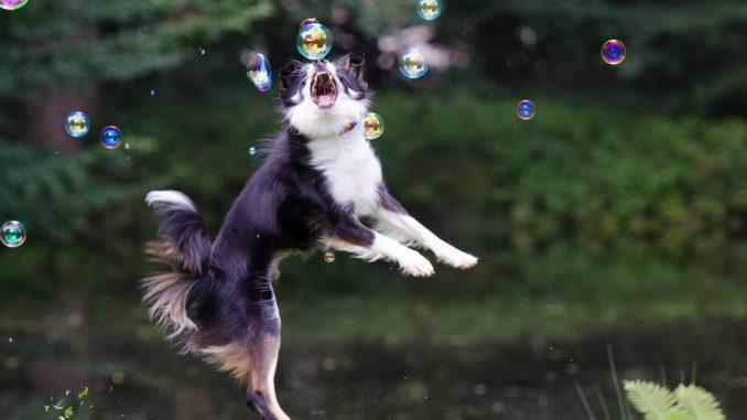 ein Bordercollie springt in die Luft und schnappt nach Seifenblasen