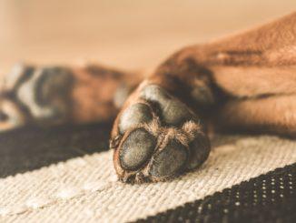 Pfote von einem braunen Hund