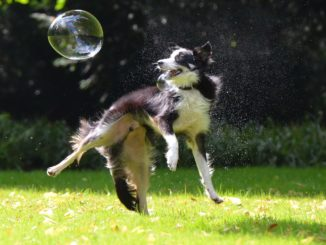 Hund springt in die Luft zu einer Seifenblase