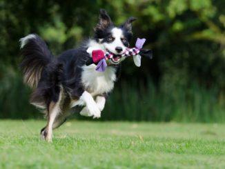 Collie springt in die Luft mit Spielzeug im Maul