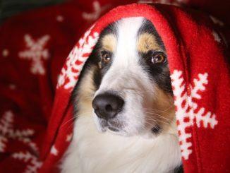 Ein Collie trägt ein rotes Tuch über dem Kopf mit weihnachtlichen Motiven