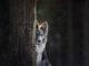 Border Collie versteckt sich hinter Baum und schaut hervor