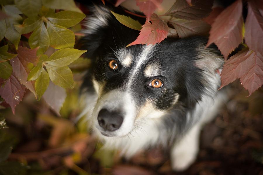 Border Collie schaut hoch in die Kamera zwischen Herbstblättern