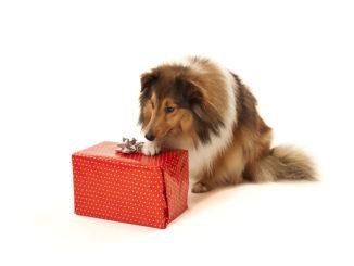 Ein Hund mit rotem Geschenk vor der Nase