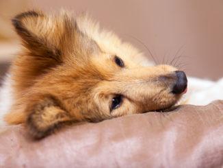Ein Sheltie liegt in einem Hundebett