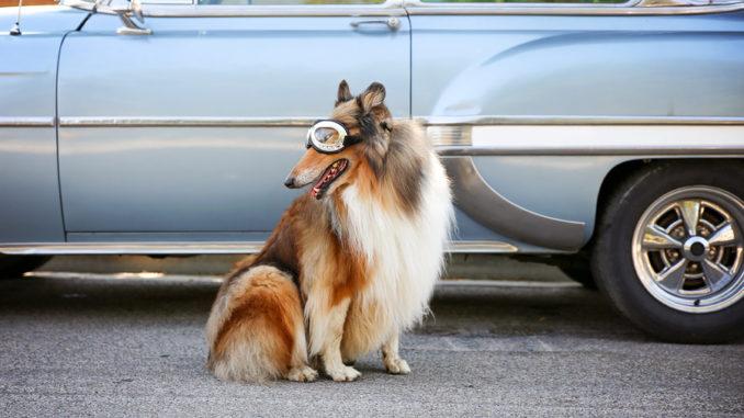 Ein Collie posiert vor einem alten Auto mit Fliegerbrille auf