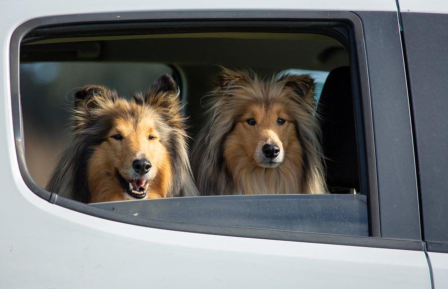 Zwei Collies auf der Rückbank eines Autos