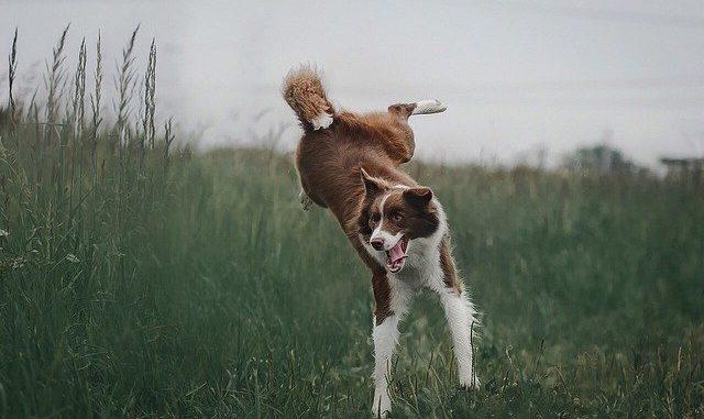 Ein Hund (Collie) springt in hohem Gras