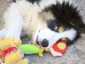Collie Welpe mit Spielzeug