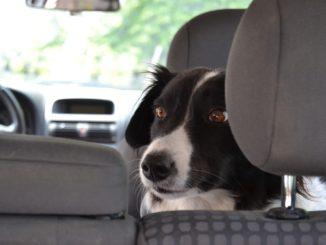 Collie sitzt auf Rückbank von Auto und schaut nach hinten