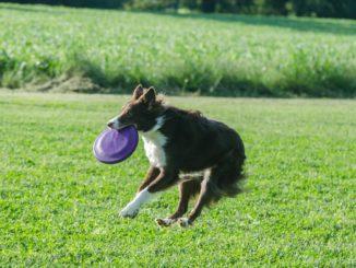 Collie springt in die Luft und hat Frisbee im Maul