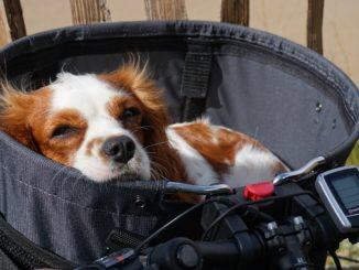 Hund liegt im Fahrradkorb
