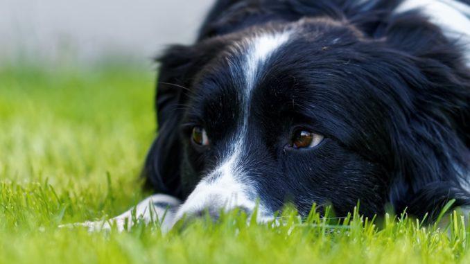 Collie liegt auf Rasen und schaut zur Seite